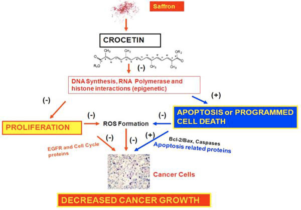 Crocetina: possibile meccanismo d'azione chemiopreventivo sul cancro.