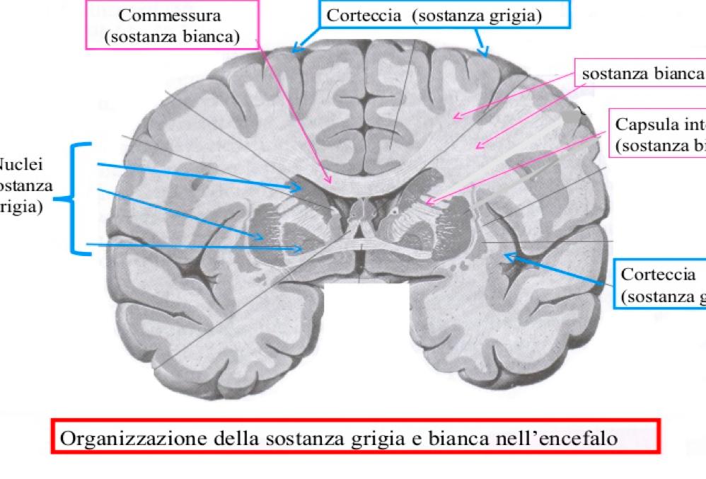 Sostanza bianca cerebrale